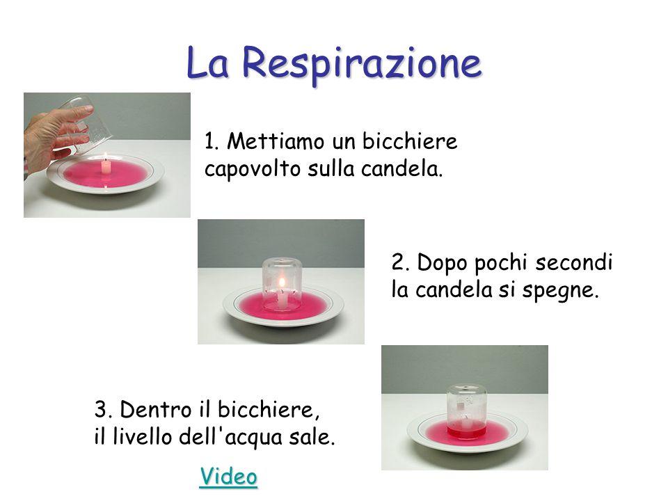 La Respirazione 1. Mettiamo un bicchiere capovolto sulla candela. 2. Dopo pochi secondi la candela si spegne. 3. Dentro il bicchiere, il livello dell'
