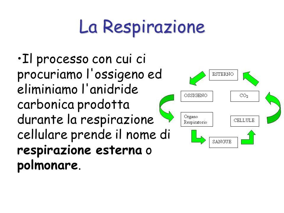 La Respirazione Il processo con cui ci procuriamo l'ossigeno ed eliminiamo l'anidride carbonica prodotta durante la respirazione cellulare prende il n