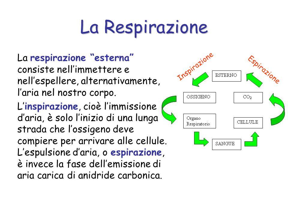 La Respirazione La respirazione esterna consiste nellimmettere e nellespellere, alternativamente, laria nel nostro corpo. Linspirazione, cioè limmissi