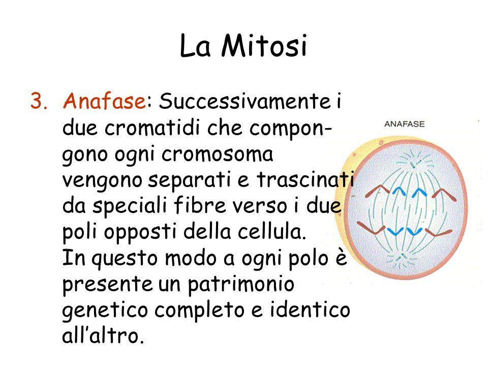 La Mitosi 3.Anafase: Successivamente i due cromatidi che compon- gono ogni cromosoma vengono separati e trascinati da speciali fibre verso i due poli