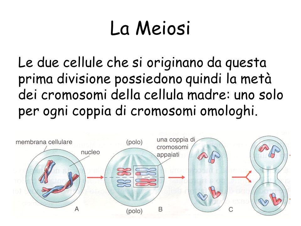 La Meiosi Le due cellule che si originano da questa prima divisione possiedono quindi la metà dei cromosomi della cellula madre: uno solo per ogni cop