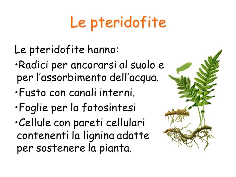 Le pteridofite Le pteridofite hanno: Radici per ancorarsi al suolo e per lassorbimento dellacqua. Fusto con canali interni. Foglie per la fotosintesi