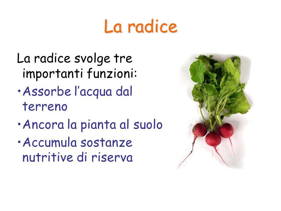 La radice La radice svolge tre importanti funzioni: Assorbe lacqua dal terreno Ancora la pianta al suolo Accumula sostanze nutritive di riserva