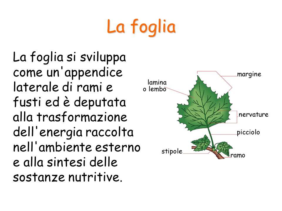 La foglia La foglia si sviluppa come un'appendice laterale di rami e fusti ed è deputata alla trasformazione dell'energia raccolta nell'ambiente ester