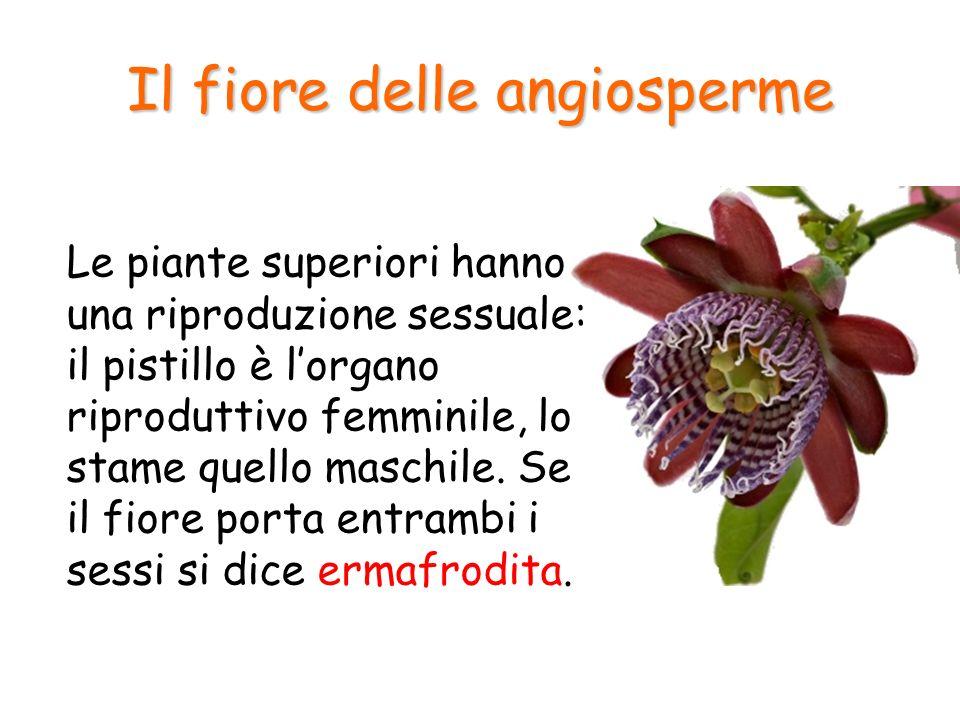 Il fiore delle angiosperme Le piante superiori hanno una riproduzione sessuale: il pistillo è lorgano riproduttivo femminile, lo stame quello maschile