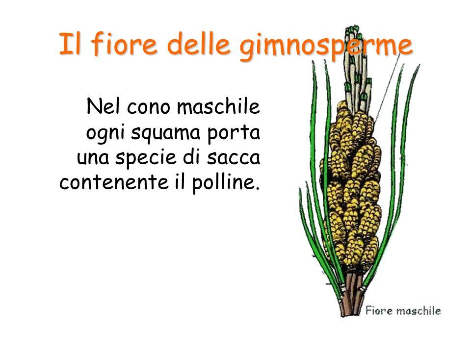 Nel cono maschile ogni squama porta una specie di sacca contenente il polline. Il fiore delle gimnosperme