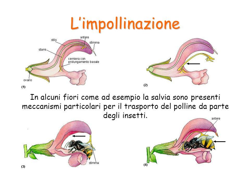 Limpollinazione In alcuni fiori come ad esempio la salvia sono presenti meccanismi particolari per il trasporto del polline da parte degli insetti.
