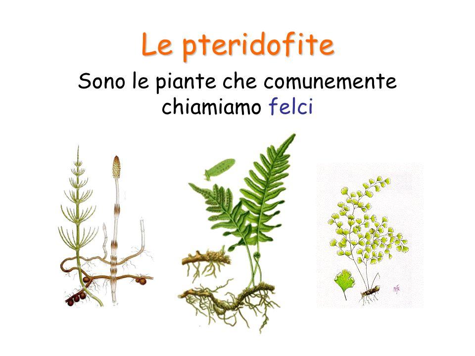Le pteridofite Sono le piante che comunemente chiamiamo felci