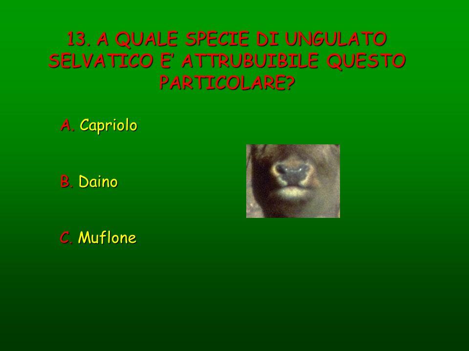 13. A QUALE SPECIE DI UNGULATO SELVATICO E ATTRUBUIBILE QUESTO PARTICOLARE? A. Capriolo B. Daino C. Muflone
