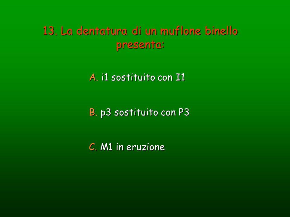 13. La dentatura di un muflone binello presenta: A. i1 sostituito con I1 B. p3 sostituito con P3 C. M1 in eruzione