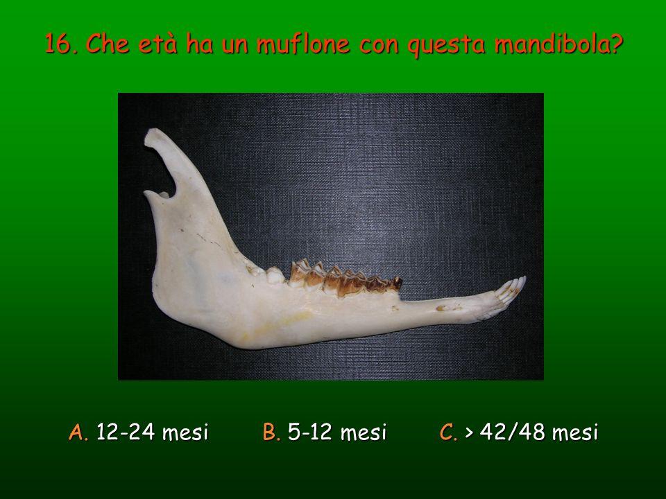 16. Che età ha un muflone con questa mandibola? A. 12-24 mesi B. 5-12 mesi C. > 42/48 mesi