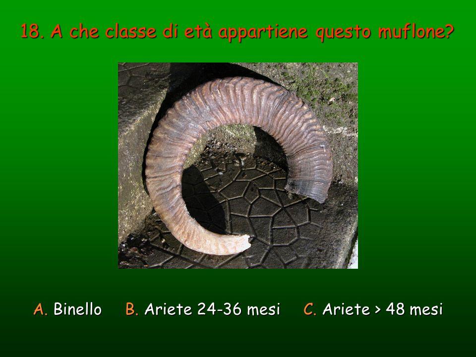 18. A che classe di età appartiene questo muflone? A. Binello B. Ariete 24-36 mesi C. Ariete > 48 mesi