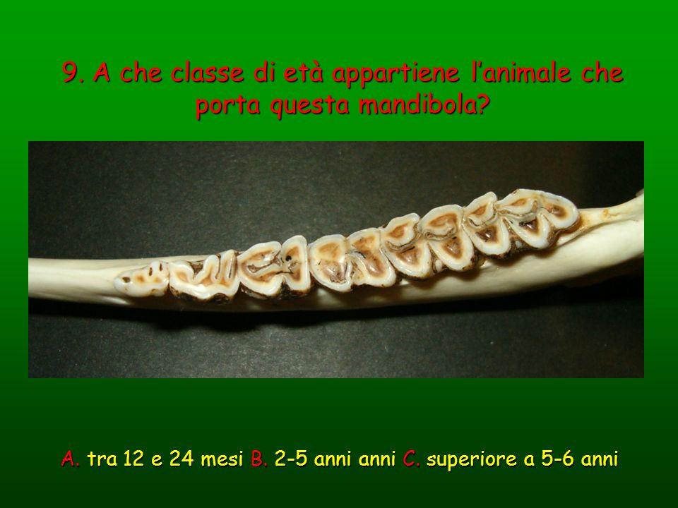 9. A che classe di età appartiene lanimale che porta questa mandibola? A. tra 12 e 24 mesi B. 2-5 anni anni C. superiore a 5-6 anni