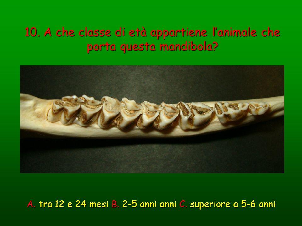 10. A che classe di età appartiene lanimale che porta questa mandibola? A. tra 12 e 24 mesi B. 2-5 anni anni C. superiore a 5-6 anni