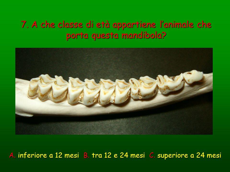 7. A che classe di età appartiene lanimale che porta questa mandibola? A. inferiore a 12 mesi B. tra 12 e 24 mesi C. superiore a 24 mesi
