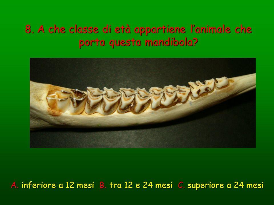8. A che classe di età appartiene lanimale che porta questa mandibola? A. inferiore a 12 mesi B. tra 12 e 24 mesi C. superiore a 24 mesi