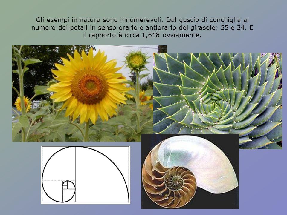 Gli esempi in natura sono innumerevoli. Dal guscio di conchiglia al numero dei petali in senso orario e antiorario del girasole: 55 e 34. E il rapport