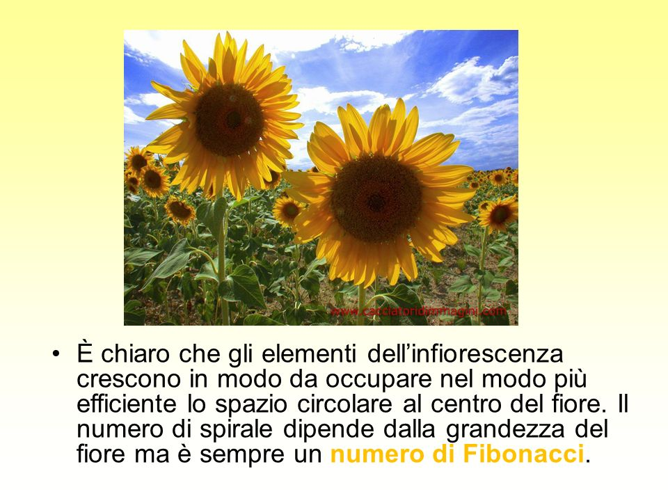 È chiaro che gli elementi dellinfiorescenza crescono in modo da occupare nel modo più efficiente lo spazio circolare al centro del fiore. Il numero di