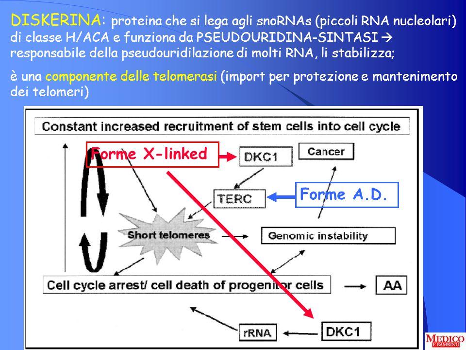 DISKERINA: proteina che si lega agli snoRNAs (piccoli RNA nucleolari) di classe H/ACA e funziona da PSEUDOURIDINA-SINTASI responsabile della pseudouri