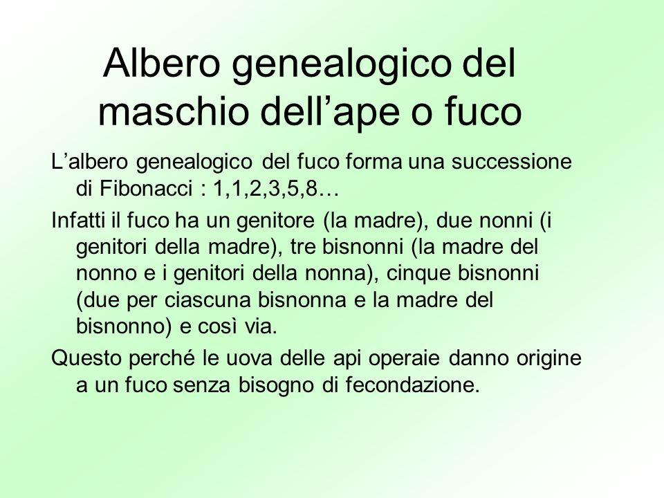 Albero genealogico del maschio dellape o fuco Lalbero genealogico del fuco forma una successione di Fibonacci : 1,1,2,3,5,8… Infatti il fuco ha un gen