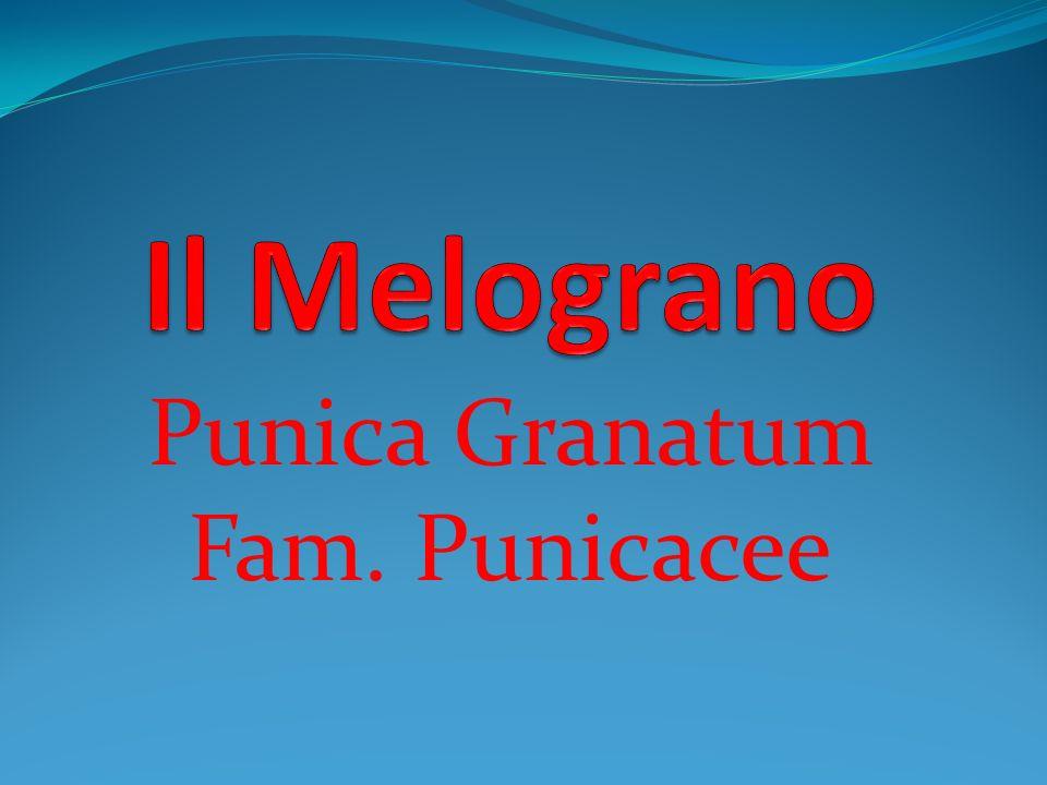 Generalità Il Melograno (Punica granatum L.) appartiene alla Famiglia delle Punicaceae, genere Punica, specie P.
