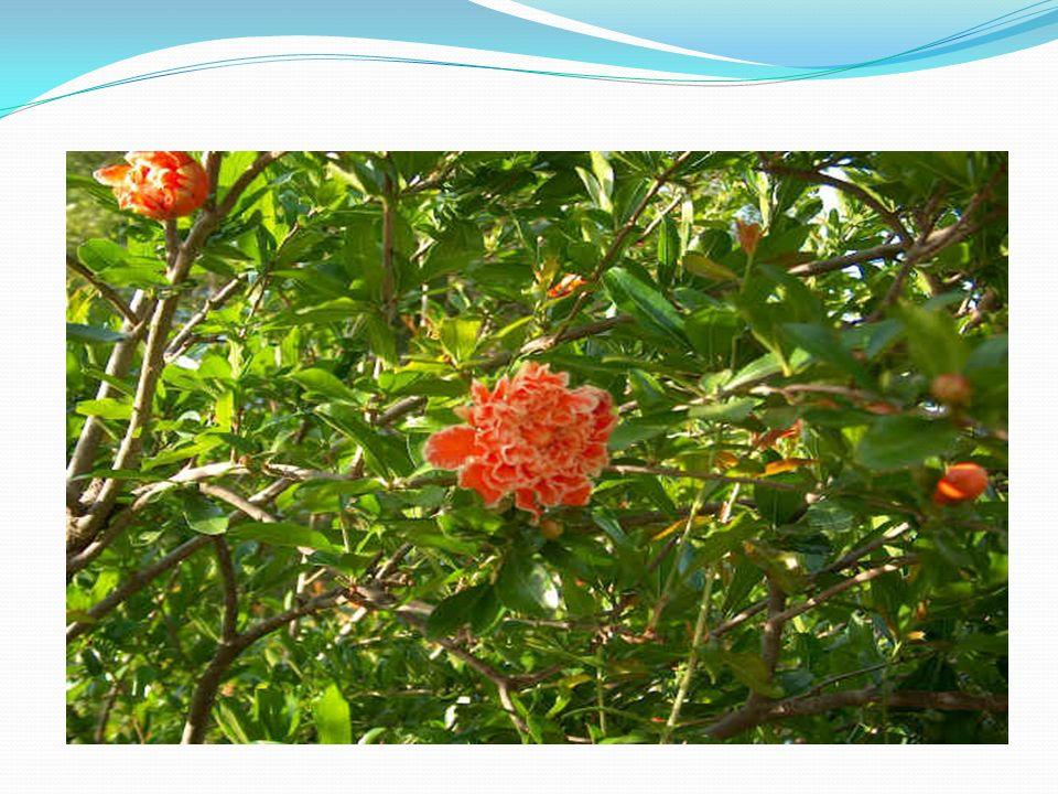 Pianto antico L albero a cui tendevi La pargoletta mano, Il verde melograno Da bei vermigli fior Nel muto orto solingo Rinverdì tutto or ora, E giugno lo ristora Di luce e di calor.