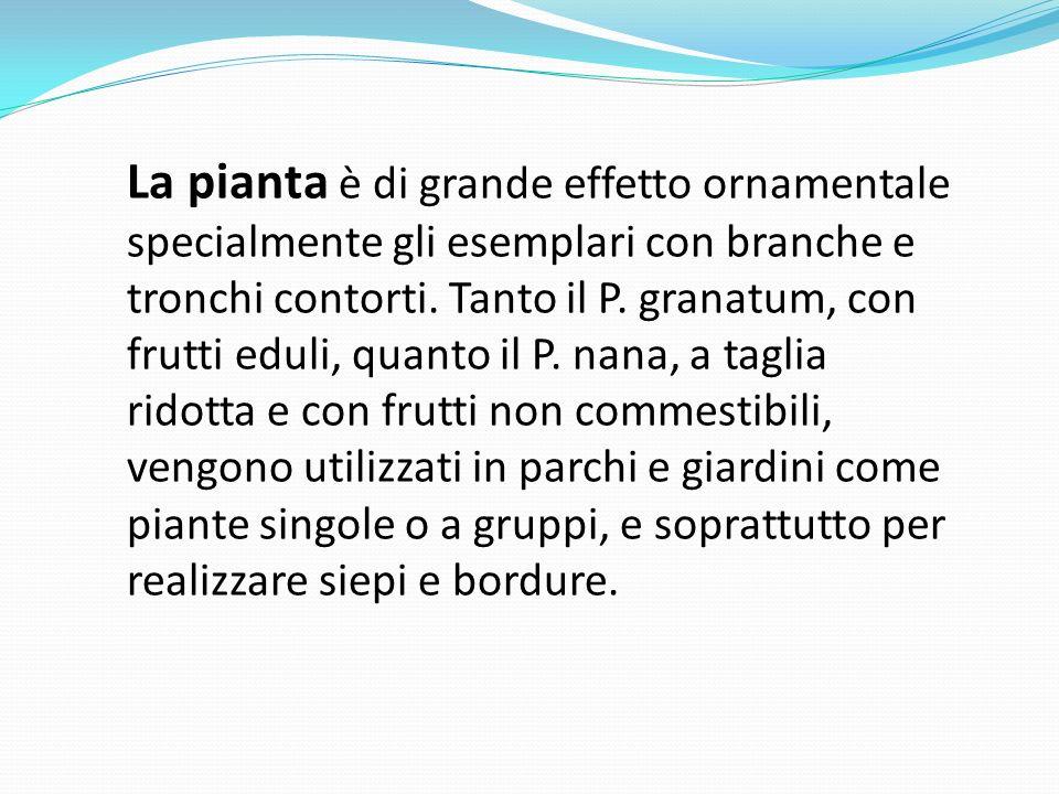 La pianta è di grande effetto ornamentale specialmente gli esemplari con branche e tronchi contorti. Tanto il P. granatum, con frutti eduli, quanto il
