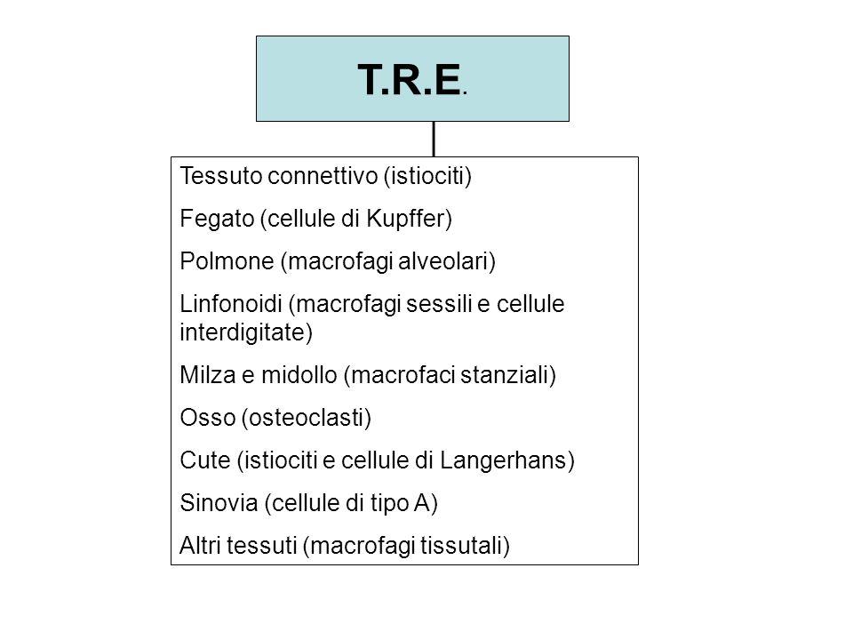 Tessuto connettivo (istiociti) Fegato (cellule di Kupffer) Polmone (macrofagi alveolari) Linfonoidi (macrofagi sessili e cellule interdigitate) Milza
