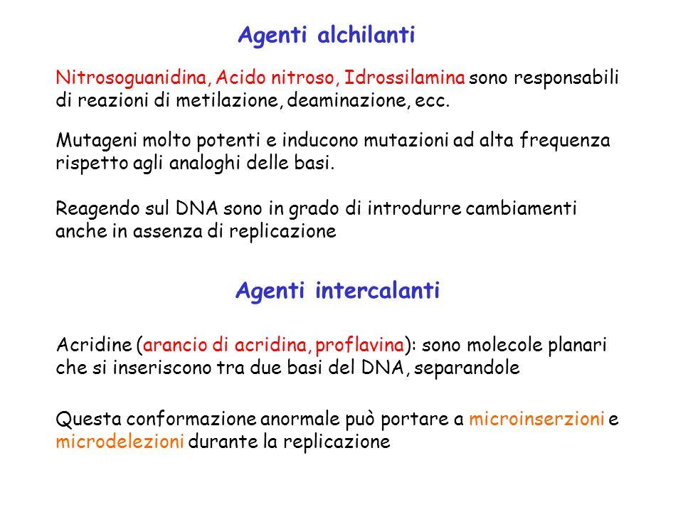 Agenti alchilanti Mutageni molto potenti e inducono mutazioni ad alta frequenza rispetto agli analoghi delle basi. Nitrosoguanidina, Acido nitroso, Id