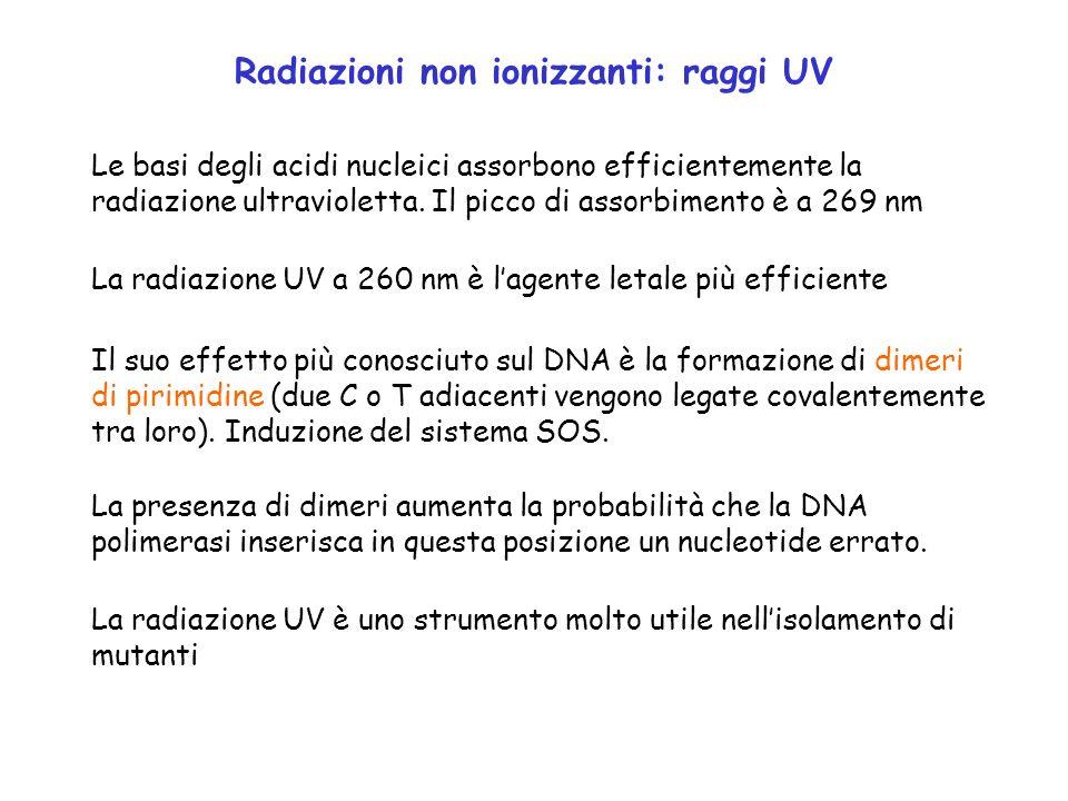 Radiazioni non ionizzanti: raggi UV Le basi degli acidi nucleici assorbono efficientemente la radiazione ultravioletta. Il picco di assorbimento è a 2