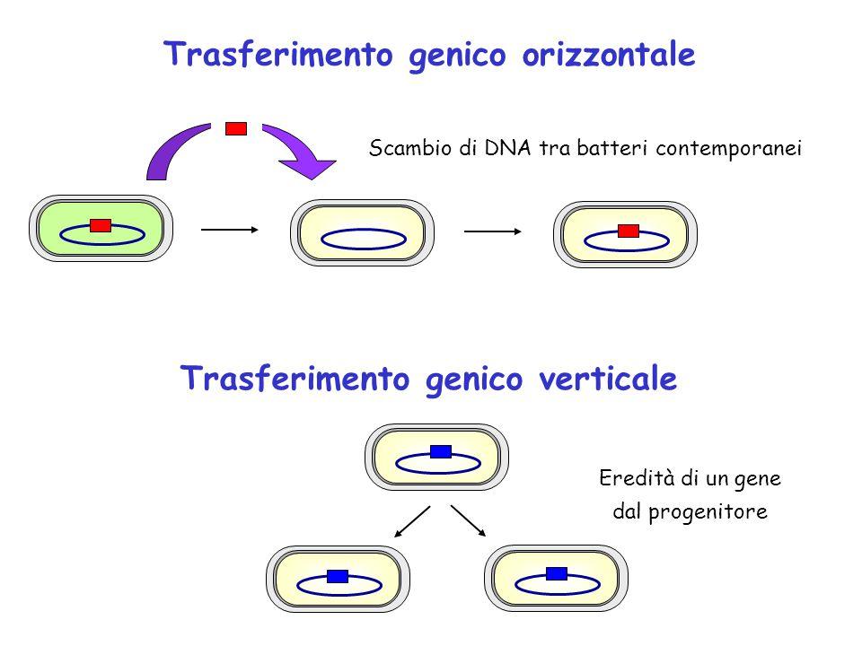 Trasferimento genico verticale Scambio di DNA tra batteri contemporanei Eredità di un gene dal progenitore