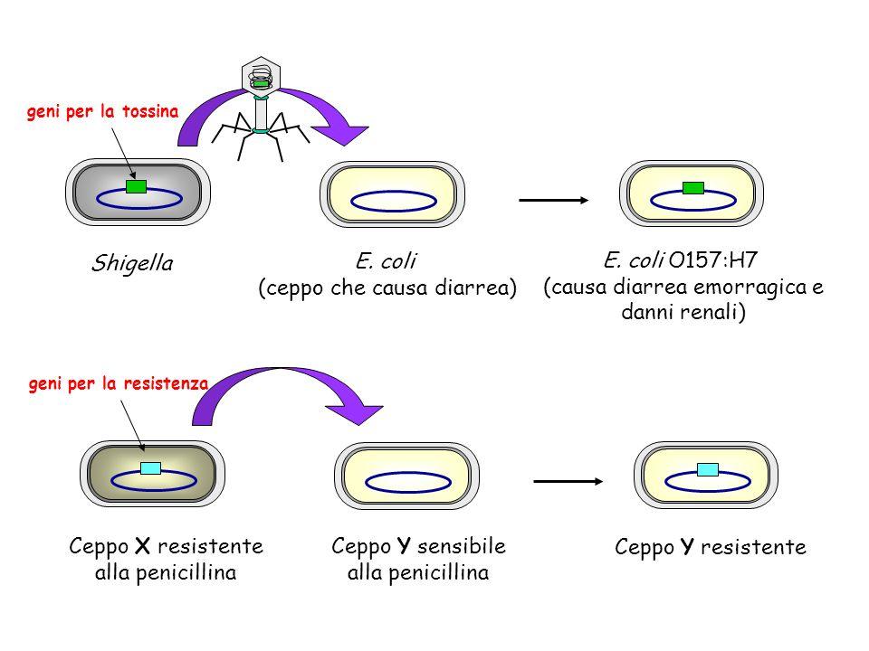 Ceppo X resistente alla penicillina Ceppo Y sensibile alla penicillina Ceppo Y resistente geni per la resistenza Shigella E. coli (ceppo che causa dia