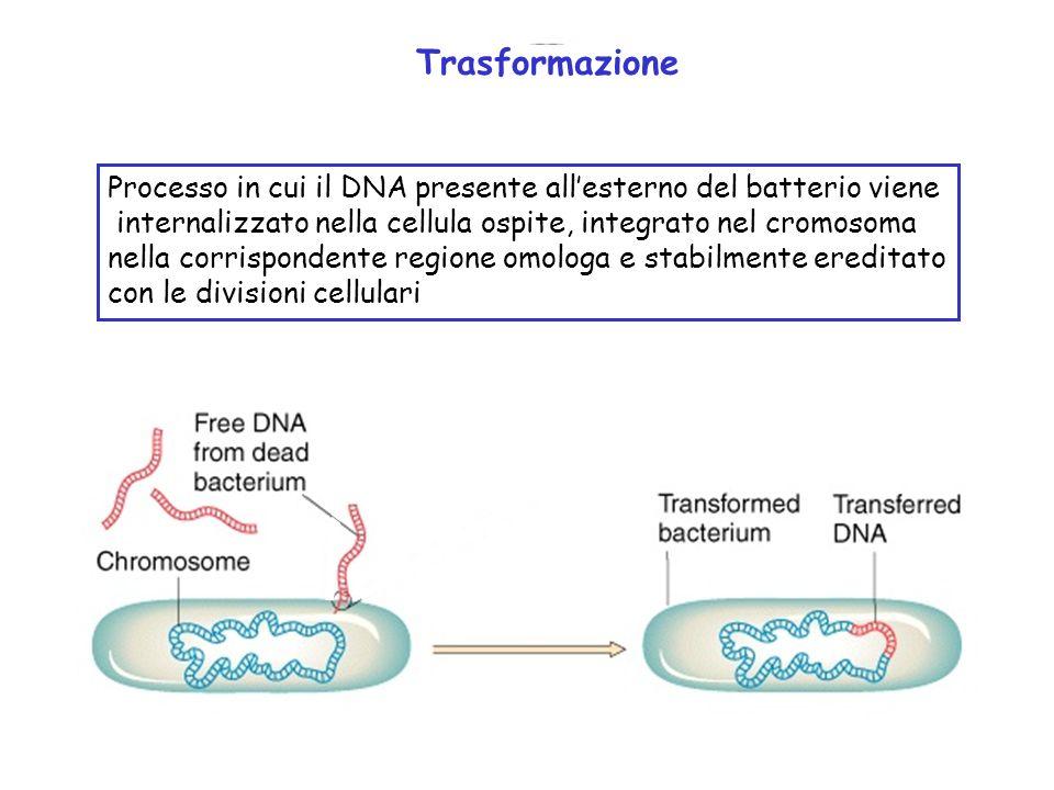 Processo in cui il DNA presente allesterno del batterio viene internalizzato nella cellula ospite, integrato nel cromosoma nella corrispondente region