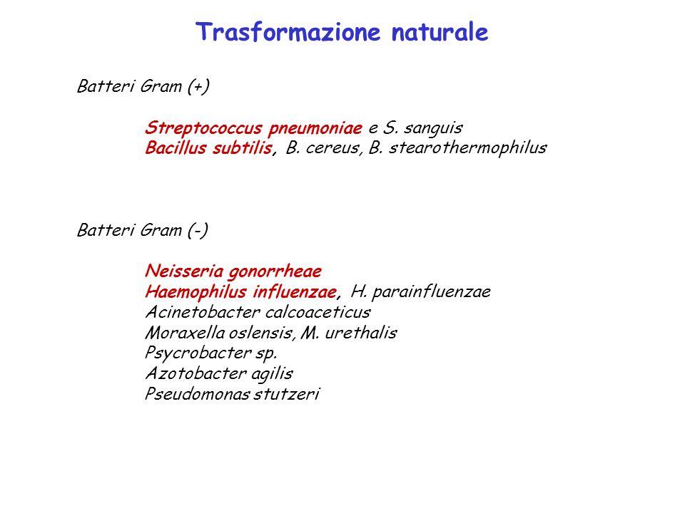 Trasformazione naturale Batteri Gram (+) Streptococcus pneumoniae e S. sanguis Bacillus subtilis, B. cereus, B. stearothermophilus Batteri Gram (-) Ne