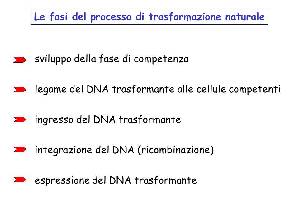 Le fasi del processo di trasformazione naturale sviluppo della fase di competenza legame del DNA trasformante alle cellule competenti ingresso del DNA