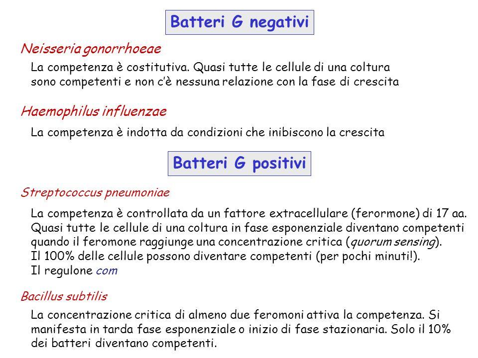Batteri G negativi Neisseria gonorrhoeae La competenza è costitutiva. Quasi tutte le cellule di una coltura sono competenti e non cè nessuna relazione