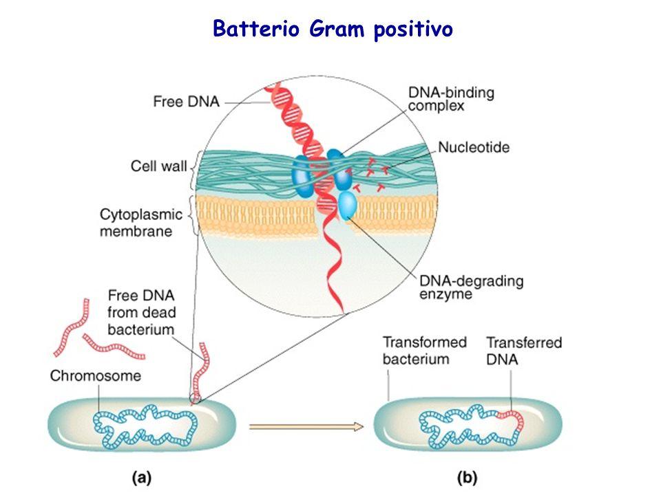 Batterio Gram positivo