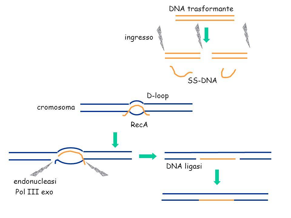 ingresso DNA trasformante cromosoma D-loop endonucleasi DNA ligasi SS-DNA Pol III exo RecA