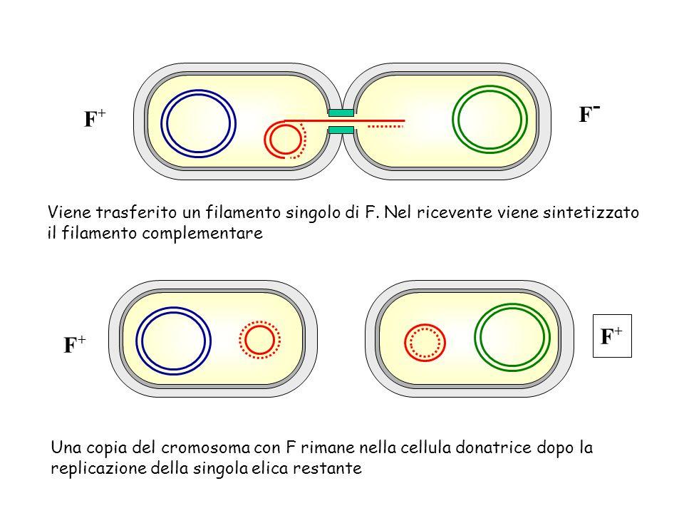 F+F+ F+F+ F+F+ F-F- Viene trasferito un filamento singolo di F. Nel ricevente viene sintetizzato il filamento complementare Una copia del cromosoma co