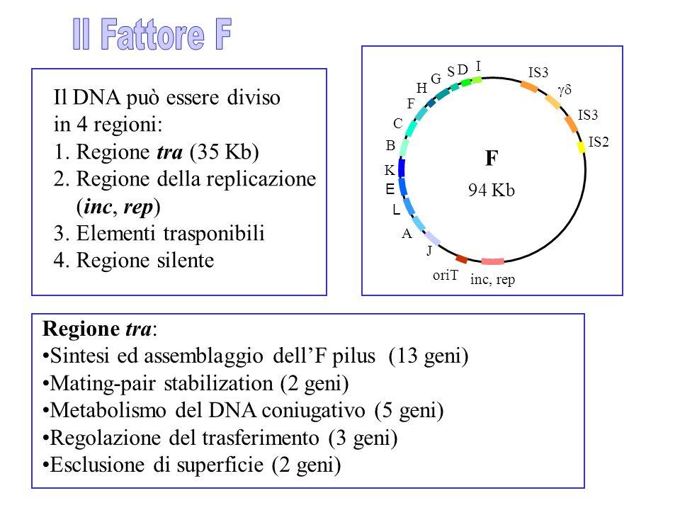 Il DNA può essere diviso in 4 regioni: 1. Regione tra (35 Kb) 2. Regione della replicazione (inc, rep) 3. Elementi trasponibili 4. Regione silente IS3