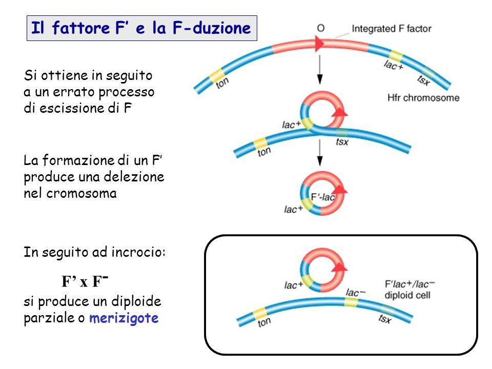 La formazione di un F produce una delezione nel cromosoma In seguito ad incrocio: F x F - si produce un diploide parziale o merizigote Si ottiene in s
