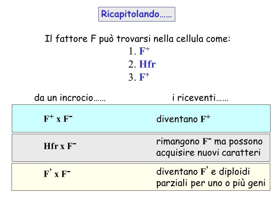 Il fattore F può trovarsi nella cellula come: 1. F + 2. Hfr 3. F da un incrocio……i riceventi…… F + x F - rimangono F - ma possono acquisire nuovi cara