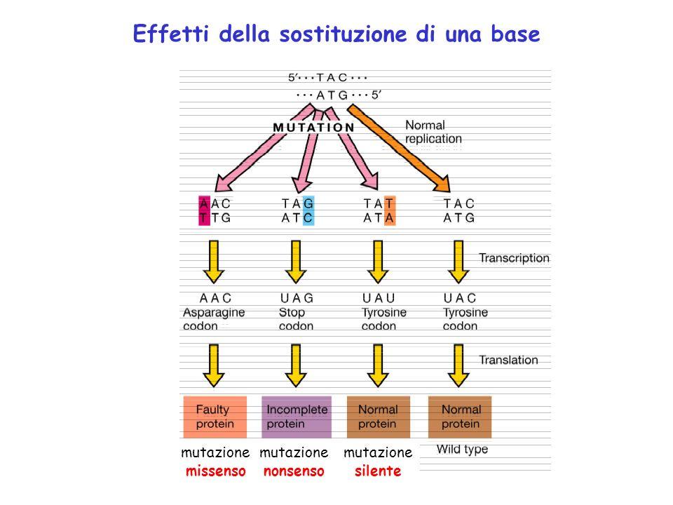 Effetti della sostituzione di una base mutazione missenso mutazione nonsenso mutazione silente