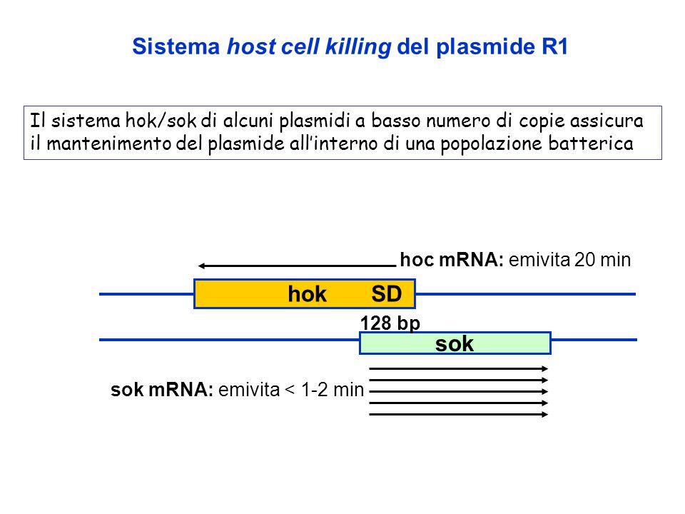 sok Sistema host cell killing del plasmide R1 hoc mRNA: emivita 20 min sok mRNA: emivita < 1-2 min 128 bp SDhok Il sistema hok/sok di alcuni plasmidi