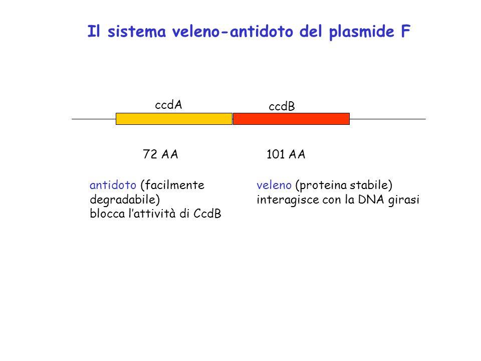 Il sistema veleno-antidoto del plasmide F ccdA ccdB 72 AA101 AA veleno (proteina stabile) interagisce con la DNA girasi antidoto (facilmente degradabi