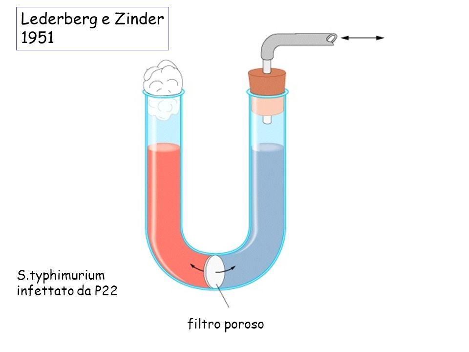 filtro poroso S.typhimurium infettato da P22 Lederberg e Zinder 1951