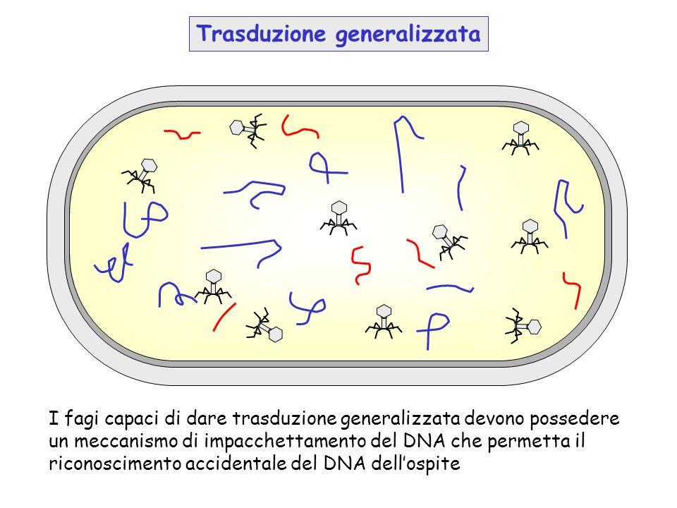 I fagi capaci di dare trasduzione generalizzata devono possedere un meccanismo di impacchettamento del DNA che permetta il riconoscimento accidentale