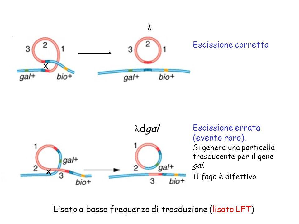 Escissione corretta Escissione errata (evento raro). Si genera una particella trasducente per il gene gal. Il fago è difettivo dgal Lisato a bassa fre