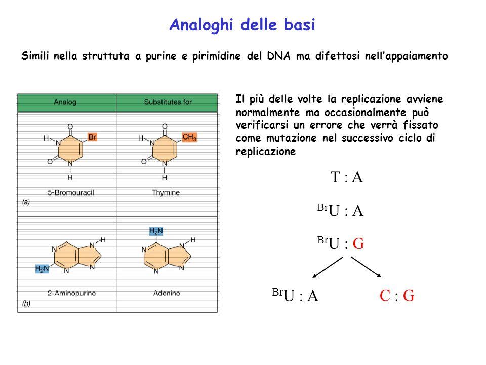 Analoghi delle basi Simili nella struttuta a purine e pirimidine del DNA ma difettosi nellappaiamento Il più delle volte la replicazione avviene norma