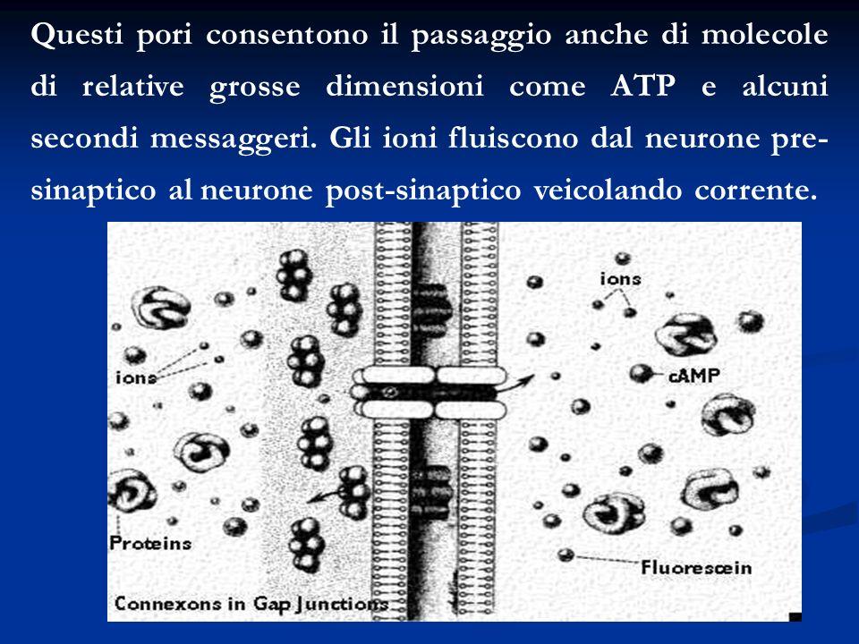 Questi pori consentono il passaggio anche di molecole di relative grosse dimensioni come ATP e alcuni secondi messaggeri. Gli ioni fluiscono dal neuro